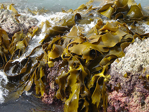 Brown Kelp Seaweed